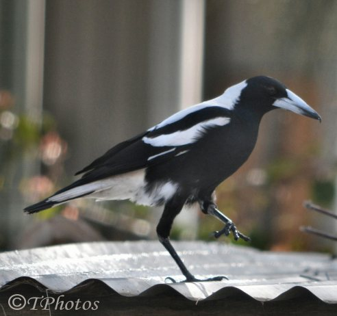 Injured Magpie