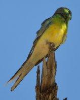 Grass Parrot