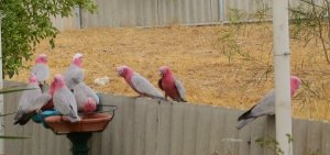 Galahs often flock together whether eating or drinking