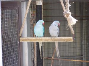 Our breeding pair of Indian Rick-necked Parrots