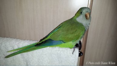 Monk Parrot Photo compliments of Dianne Wilson which is her pet bird