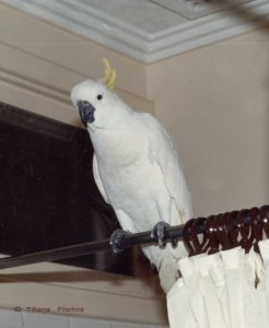 Our Sulphur crest Cockatoo sitting on our shower