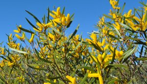 Look out for the many different varieties of Wattles