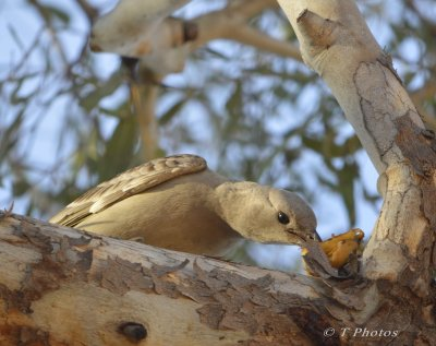 We saw this Beautiful Great Bower bird eating a banana skin in the tree.