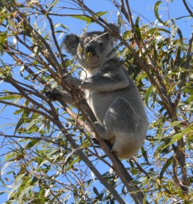 This Koala was hanging on tight in the top branches on a very windy day