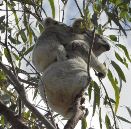 Baby Koala hangs on tight to its mother