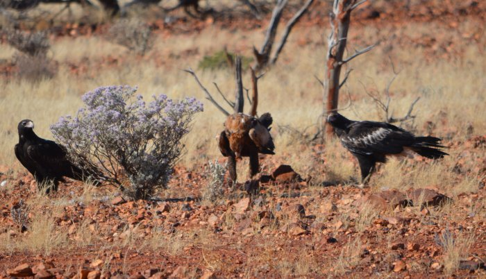 3 wedge tailed eagles