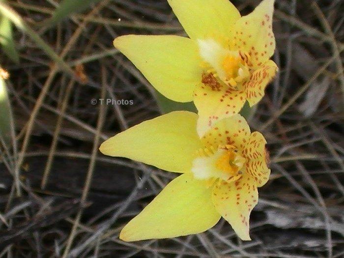 Custard Orchard  Thelymitra villosa