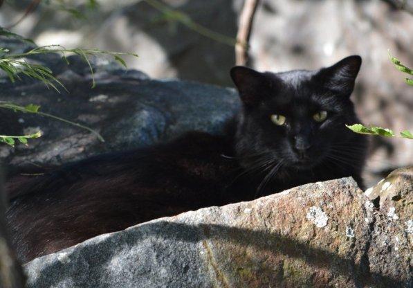 huge-black-stray-cat